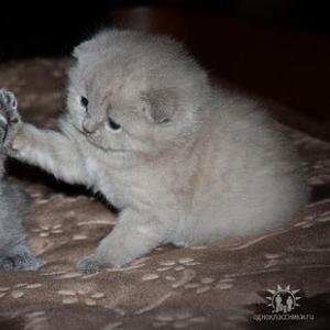Продаются котята скоттиш-фолд и страйт